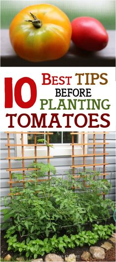 Grow Tomatoes Tips WAIT! Before you plant tomatoes, check these 10 best tips to make sure you don't make big mistakes. See what you need to grow delicious heirloom and hybrid tomatoes. Hydroponic Gardening, Hydroponics, Organic Gardening, Container Gardening, Gardening Tips, Vegetable Gardening, Container Vegetables, Texas Gardening, Growing Tomatoes In Containers