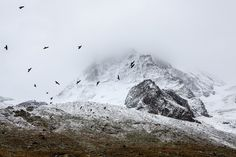 A flock of birds fly around a snowy mountainside in fog