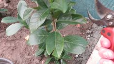 Babérmeggy telepítés utáni metszése - kertépítés #kertépítés (Prunus I. ... Prunus, Peach