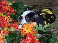 boston terrier bumble bees!! http://www.littlebeasts.com/costumecontest04.html