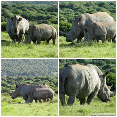 rinocerontes no safári