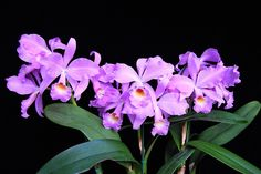 Cattleya SUAVIS !!Explore salabat's photos on Flickr. salabat has uploaded 4610 photos to Flickr.