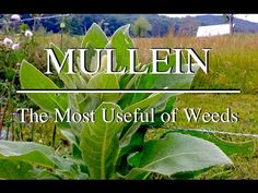 Mullein: A Great Medicinal Weed with Practical Uses - YouTube