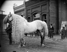 Old photo of a stallion with a very long mane. He appears to be a Percheron; the photo is from Wisconsin in the late Long manes like this are usually kept carefully braided and wrapped in fabric to prevent snags and broken hairs. Vintage Pictures, Old Pictures, Old Photos, Beautiful Horses, Animals Beautiful, Cute Animals, Pretty Horses, Hello Beautiful, Gorgeous Hair