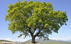 Roble albar (Quercus petrae), Navarra
