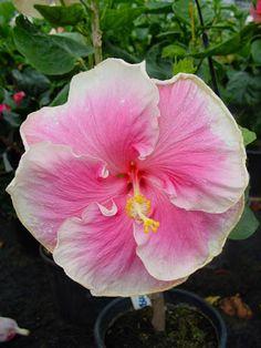 Hibiscus 'Buckey Colors'