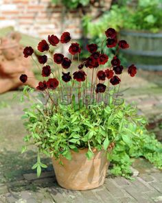 Cosmos Black Magic seeds (looks like chocolate cosmos to me. Red Plants, Exotic Plants, Flower Seeds, Flower Pots, Chocolate Cosmos Flower, Beautiful Gardens, Beautiful Flowers, Cosmos Flowers, Herb Labels