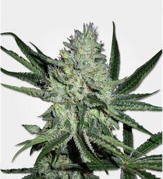Find indoor Marijuana (cannabis or weed) seeds for sale at MSNL. Our indoor Marijuana seeds are developed specially for growing indoors. Outdoor Greenhouse, Weed Seeds, Seeds For Sale, Cannabis Growing, Marijuana Plants, Buy Weed Online, Medical Marijuana, Cactus Plants, Scooby Snacks