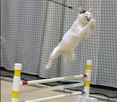 CFA Agility for cats! #Cats #CatBehavior #CatAgility