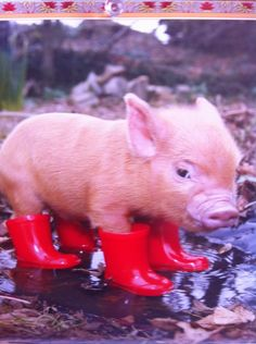 pigs with boots on