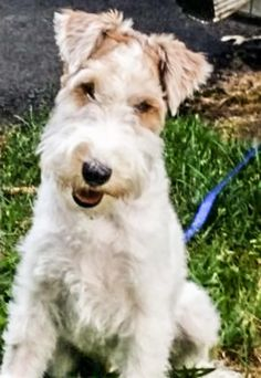 Lost Dog - Wirehaired Terrier - Granger Twp, OH, United States 44256