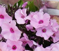 Florissimo - Flowers for weddings and events in Shropshire. PHLOX, FEB-NOV. From Florissimo Flower Directory at https://uk.pinterest.com/ByFlorissimo/flower-directory/ | White, pale to dark pink and red