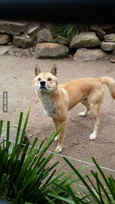 This is an Australian doge! (crikey lupus dingo)