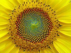 Fibonacci in de natuur - Scientias.nl