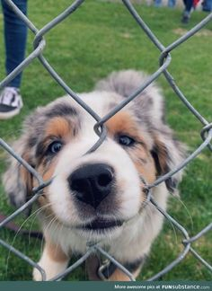 Cute Little Puppies, Cute Little Animals, Cute Dogs And Puppies, Cute Funny Animals, Doggies, Aussie Puppies, Funny Dogs, Cute Puppy Pics, Havanese Puppies
