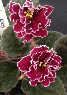 African Violet Plant- Powder Keg #1