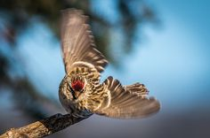 A Common Redpoll begins a dive on a nice sunny day in North Western, Ontario, Canada. North Western, Wildlife Photography, Sunny Days, Ontario, Fine Art America, Wings, Canada, Nice, Artist