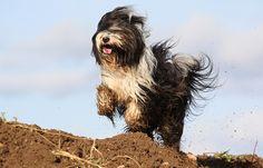 Tibetan Terrier running wild with the wind...
