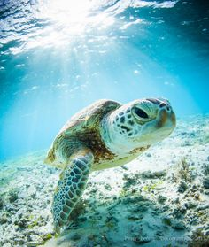 """500px / Photo """"Young Okinawan Sea Turtle"""" by Pete Leong"""