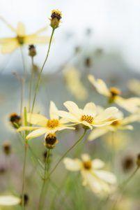 Meisjesogen (Coreopsis) Yellow Perennials, Flowers Perennials, Planting Flowers, Yellow Plants, Yellow Flowers, Plant Fungus, Sensory Garden, Plant Identification, Plant Images