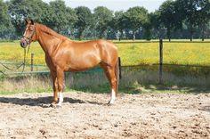 Paarden te koop: Welderin