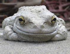 Happy Eastern Grey Tree Frog!