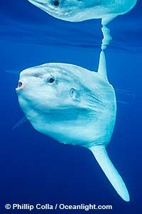 Image 02413, Ocean sunfish, open ocean, southern California., Mola mola, Copyright © Phillip Colla, all rights reserved worldwide. Keywords: actinopterygii:animal:animalia:california:california baja california:chordata:creature:fish:indo-pacific:manbow:marine:marine fish:mola:mola mola:molidae:mondfisch:moonfish:nature:ocean:ocean sunfish:ocean sunfish - mola mola:odd:outdoors:outside:pacific:pacific ocean:pelagic:pesce luna:pez luna:san diego:sea:strange:submarine:sunfish:teleost…