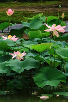 Kennin-ji Temple in Kyoto in which pink lotus flowers bloom Pink Lotus, Lotus Flowers, Plant Fungus, Thai Art, Lily Pond, Aquatic Plants, Water Lilies, Tropical Plants, Planting Flowers