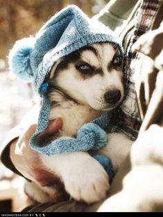 Siberian husky :)