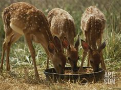 Three White-Tailed Deer Fawns (Odocoileus Virginianus) Eat from a Bowl of Grain Photographic Print by Raymond Gehman at Art.com