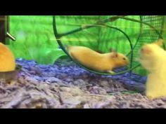 Hamster Has Epic Fail on Running Wheel - YouTube