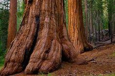 Big Trees: USA, California, Giant Sequoia tree