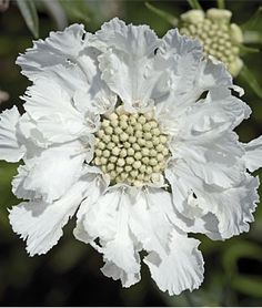 "Scabiosa, Fama White  Incredible, unstoppable summer bloomer.   Fama's White's perfectly white 3-4"" ""pincushion"" flowers embellish tall sturdy stems, floating serenely 20"" above the silvery-blue foliage. Great in vases. Very hardy, from zone 4 through 10. Deadhead to keep the flowers blooming. Very hardy, from zone 4 through 10.   Product Details  lifecycle: Perennial  Uses: Beds, Borders, Cut Flowers  Sun: Full Sun  Height: 20-24  inchesSpread: 12-18  inches"