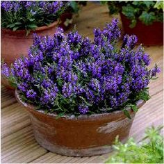The perfect Salvia for planting in containers or as an edging. Marcus is a dwarf form of Salvia growing to only around 12 inches tall. The intense dark purple flowers will remain all summer if regularly deadheaded. Plants are very compact and bushy and have very nice olive-green foliage.