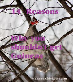 14 reasons you should NOT raise Guinea fowl