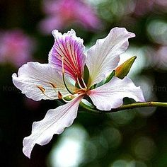 """Flowering Bauhinias are the world's most beautiful trees. In summer, 5"""" orchid-like blossoms literally cover the tree. The rest of the year, heart-shaped foliage is breezy and attractive. Colors range"""