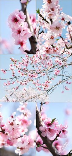 Simply gorgeous.  (Almond blossoms at Gimmeldingen - from Foto e fornelli)