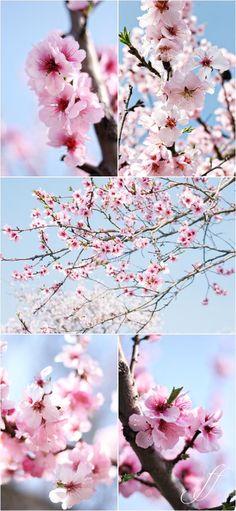 Almond blossoms at Gimmeldingen - from Foto e fornelli