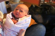 My Rottie giving my newborn niece some kisses.