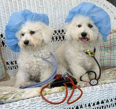 """Bichon Doctors in the House - Traveler and Hudson - """"We are here to audition to be the new stars on 'Greys Anatomy' and 'E R'. 