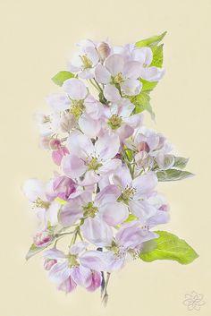 Apple Blossom by Jacky Parker