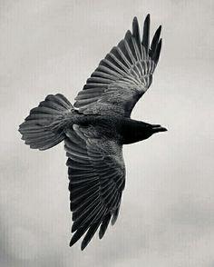 Raven And Wolf, Raven Bird, Crow Tattoos, Raven Tattoo, Nature Tattoo Sleeve, Nature Tattoos, Raven Tail, Dark Wings, Raven Queen