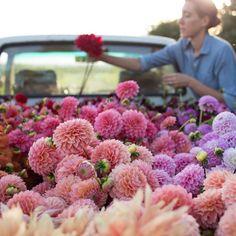 "20.8 mil Me gusta, 229 comentarios - Erin Benzakein - Floret (@floretflower) en Instagram: ""Ok dahlia lovers, its that time of year! Our full range of varieties is going on sale next week and…"""