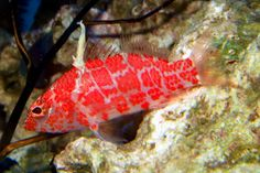 Anthias make excellent fish for the reef aquarium. Once they are properly acclimated to the aquarium and feeding well, they tend to be rather disease-resistant. Saltwater Fish Tanks, Saltwater Aquarium, Saltwater Fishing, Aquarium Fish, Nano Reef Tank, Reef Tanks, Reef Safe Fish, Marine Fish, Colorful Animals