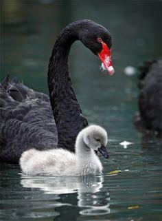 Black Swan and BabybyJohn&Fish.