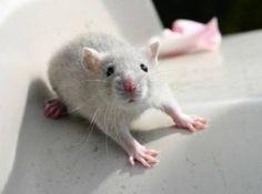 CUTE GREY RAT