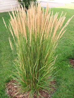 Probably responsible for the trend toward the use of ornamental grasses in landscape design is this specimen, Feather Reed Grass. In addition to being a valuable asset to fresh and dried flower ar…