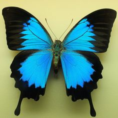This large Ulysses butterfly is the emblem of Queensland, as it is endemic only to the Australian and Asian continents.