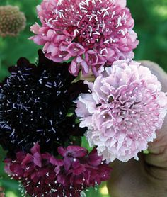 "Scabiosa, ""Summer Berries"" Grouping = ""Pincushion Flower, Mourning Bride, Mournful Widow, Sweet Scabious"":  Annual. Zone 9-11. Sun to Partial Shade"