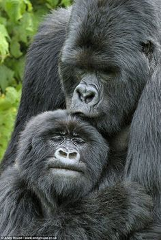Love in the Animal Kingdom: Mountain Gorillas (Gorilla beringei) in Rwanda, Africa - photo by Andy Rouse/Naturepl . from PBS Primates, Animals And Pets, Baby Animals, Funny Animals, Cute Animals, Strange Animals, Vida Animal, Mundo Animal, Beautiful Creatures